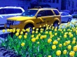 Yello taxi and yellow tulips